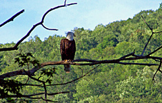 One of four resident bald eagles on the Susquehanna River at Pine Crest Campground